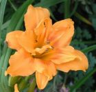 Hemerocallis Three Tears, gefüllte Taglilie in orange