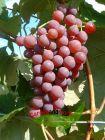 kernlose Wein- Tafeltraube Vanessa süß und rotfruchtig