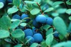 reichtragende Kultur - Heidelbeere Bluecrop
