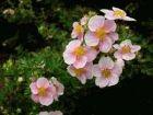 Potentilla in rosa, dauerblühender Fünf-Finger-Strauch