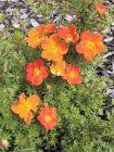 Potentilla orange, Fünf-Finger-Strauch, Dauerblüher