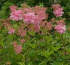 rosa Prachtstaude am Teichrand - Mädesüß