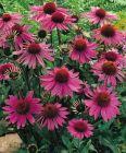 Roter Sonnenhut, Echinacea Heilpflanze, Gartenschönheit