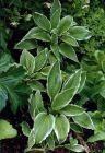 Weißrandfunkie Blätter m. eleganter Zeichnung