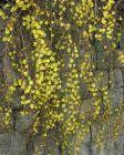 winterblühender Jasmin feine Ranken zarte, gelbe Blüten