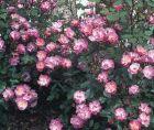 Rose Taunusblümchen