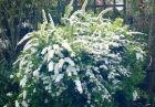 weiße, prachtvolle Brautspiere Spiraea arguta