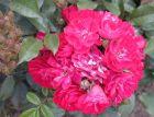 Rose Climbing Alberich