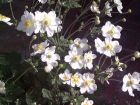 weiße Japan - Anemone Ein Schatz im Herbst
