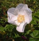 weiße Apfelrose, duftend, Rosa rugosa Alba, robust