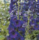 Rittersporn Black Knight dunkelblau reichblühend