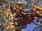 Vitaminbombe Sanddorn  -  silberne Zweige