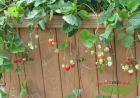 3 rote leckere Erdbeere Lambada dauertragend auch als Hängeerdbe