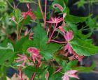 Einzigartiger Snurkdipodator Ahorn mit rosa Blattspitzen 50-70 c