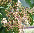 Tetradium danielli Bienenbaum auch Euodia hupehensis genannt