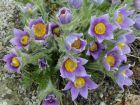 violette Küchenschelle frühblühende Rarietät