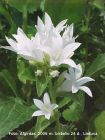 1 weiße Knäuelglockenblume, vielseitige Staude