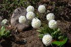 weiße Kugelprimel - eine runde Sache für den Frühling