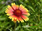 1 Kokardenblume Kobold niederer üppiger Sommerblüher