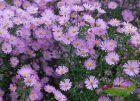 hohe Herbstaster kleinblumig lilarosa - Ochtendgloren