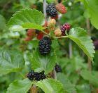 schwarzer Maulbeerbaum Morus nigra süß