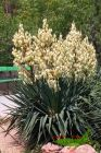 Palmlilie, Yucca, Adamsnadel, Solitärstaude im Großtopf