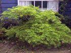 Super grüner Japanischer Schlitzahorn  50cm!