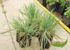 3 Gräser für trockene Standorte - blaues Schillergras