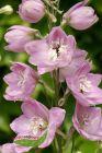rosa Rittersporn Sorte Astolat im Topf