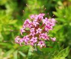 3 Rosenwaldmeister Bodendeckerstaude zu Rosen Pflanze