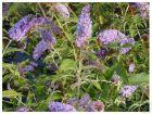 Sommerflieder - der Schmetterlingsmagnet verschiedene Farben