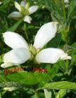 weißer Schlangenkopf Chelone obliqua mehrjährige Staude