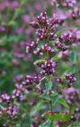 schwarzer Oregano, Duftpflanze mit feiner rosa Blüte