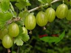 1 grüne Stachelbeere Hinomaki mehltausresistent im Topf