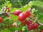 1 rote Stachelbeere Hinomaki mehltausresistent im Topf