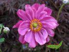 Herbstanemone Margarete pink halbgefüllter Herbstschatz