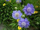 Schmetterlingsblume Blue Papillon zauberhaft und robust