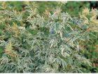 Japanische Ahorn weißbuntes Blatt Acer Butterfly 40-60