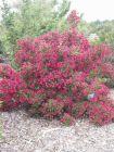 rotblühende Weigela, Zierstrauch, 2 mal blühend