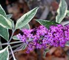 Sommerflieder mit weißgrünen Blättern und pinker Blüte