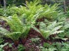 Wurm Farn robust und vielseitig Pflanze