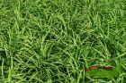 Ziergras für frische, eher feuchte Böden Palmwedelsegge