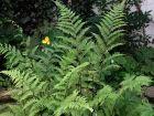 Frauen Farn filigrane Schönheit trotzdem robust Pflanze