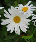 3 Sommermargerite, weißblühend, Chrysanthemum Maximum