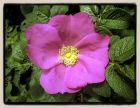 duftende Apfelrose mit großen Hagebutten Rosa rugosa