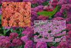 3 Fetthennen lachs Herbstfreude, rosa Carmen, pink Carl