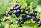 Prunus spinosa Schlehdorn Schwarzdorn Wildobst 60-100 C