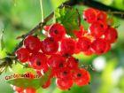 lecker und gesund: roter Johannisbeerstrauch