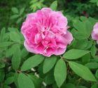 Rose * Therese Bougnet * Strauchrose