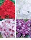 Hohe Flammenblumen in 4 Farben Phlox rot rosa weiß lila